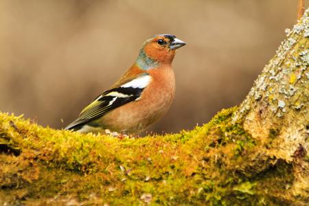 finch among moss green, winter, wildlife birds Reklamní fotografie
