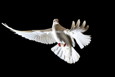 symbol of freedom white doves flying on a black background, symbol of peace, a white bird Stock Photo
