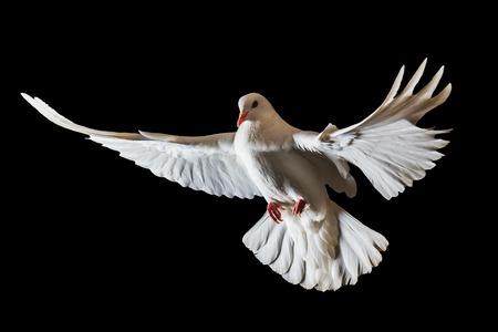 Kerstmis witte vogel die op een zwarte achtergrond, witte duif, vlucht vliegen Stockfoto