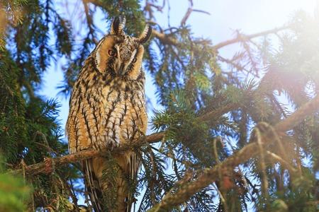 predatory bird sits among the fir branches, wildlife, wintering birds