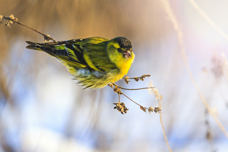 small bird survives in winter with sunny hotspot, wildlife, wintering birds