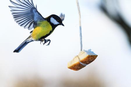 bird flies to the feeder where fat hanging , wildlife, birds Stock Photo