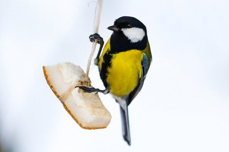 bird sitting on hodivnychtsi and eating bacon , wildlife, birds