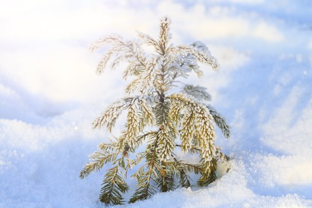 little Christmas tree that fell asleep in the snow on sunny day , winter period Stock Photo