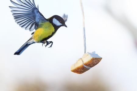 great tit flies to the feeder where fat hanging, wildlife, birds Stock Photo
