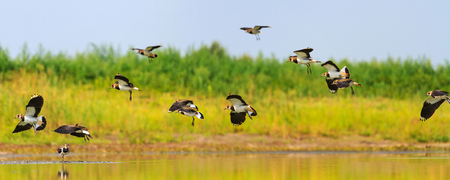 northern lapwings flies over the lake, wildlife, animals Banco de Imagens