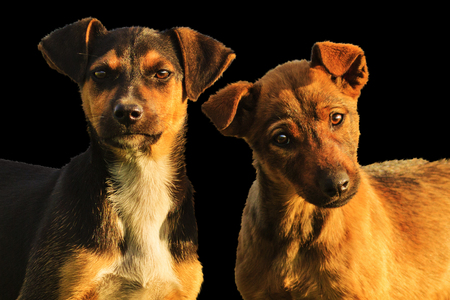 Puppies are isolated on a black background, winter holidays, animals, a symbol of the new year