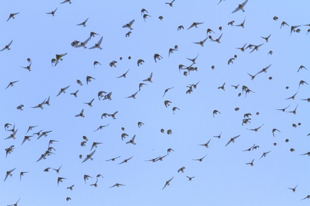 flock of birds with open wings in the sky , wildlife, winter miracles