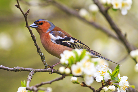 Early bird among the first flowers on a tree , wildlife, springtime