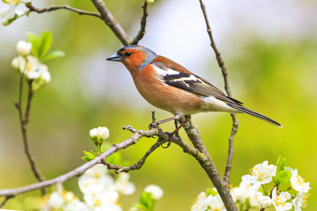 Chaffinch sitting on a branch with spring flowers , wildlife, springtime Stock Photo