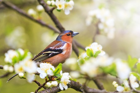 Common chaffinch sits in the fruit tree among the first blossom , wildlife, springtime