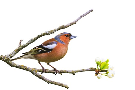 Early bird sits on a branch isolated on white , wildlife, springtime Stock Photo