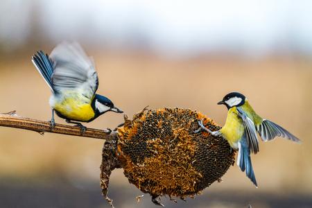 Birds compete in winter for food , wildlife, winter, bird watching