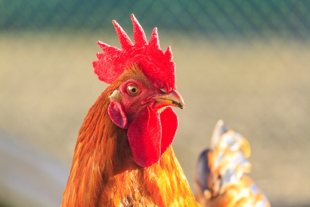red cock in sunlight , pets, breeding chickens Reklamní fotografie