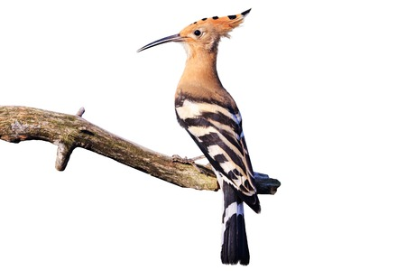 exquisite bird on a branch isolated on white, hoopoe, wild nature in the spring