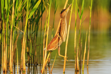 bird disguised among the thickets of reeds , wildlife, animals Stock Photo