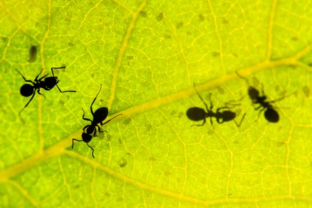 black ant under green leaves milking aphids , wildlife, animals