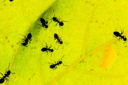 black ants under a green leaf , wildlife, animals Фото со стока