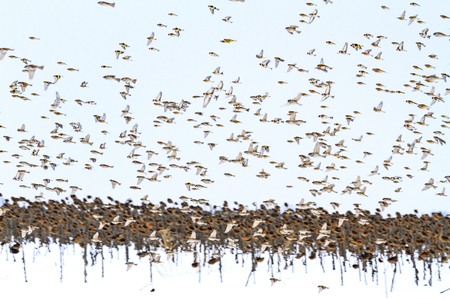 flock of beautiful birds flying over a winter field , wildlife, animals