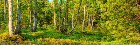 panorama of the wild enchanted forest Stock Photo