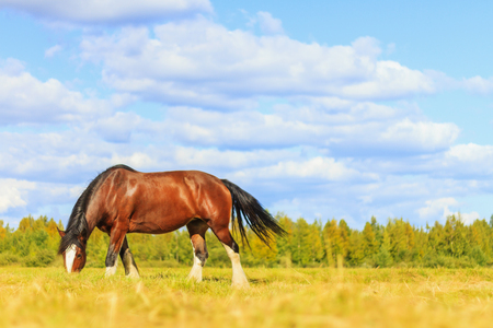 thoroughbred horse grazes among the beautiful and fragrant herbs , wildlife, animals