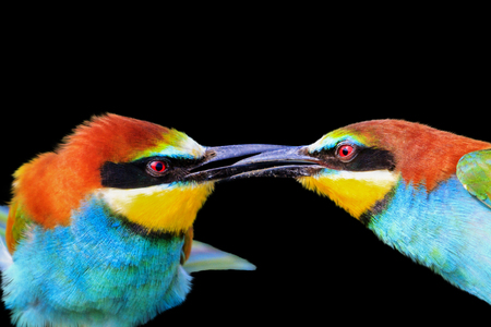 kiss of colored birds is isolated on a black background , design and wildlife Stock Photo