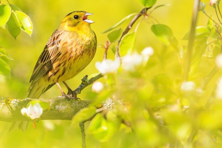 spring bird sings sitting among green leaves , natural beauty, flowering, wildlife after the winter
