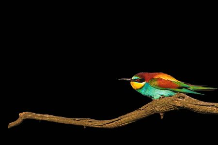 Wonderful colored bird on branch dry wrinkled isolated on black, wild birds, design