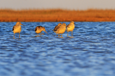 migratory birds stopped to rest on the lake , wild birds, spring migration
