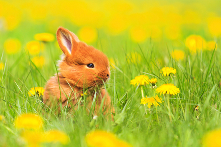 Cute red rabbit sits among the yellow flowers, baby animals, pets Stock Photo