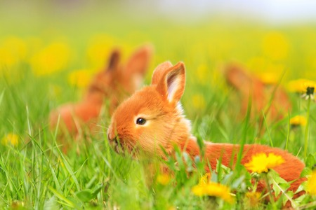 red rabbits frolic in the spring grass, baby animals, pets