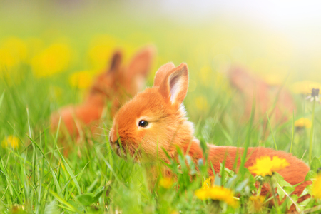 red rabbits frolic in the spring grass with sunny hotspot , baby animals, pets Stock Photo