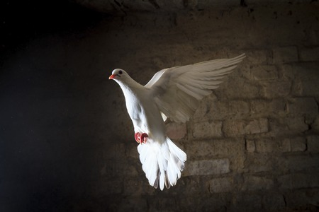white dove flying into the light from the darkness, good and evil are black and white
