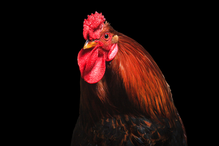 Rooster with beautiful feathers on a black background, animals on the farm Stock Photo
