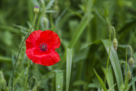 red poppy in green grass