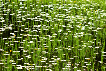 hypnotizing picture with lilies and marsh horsetail on, flowers and textures Stock Photo