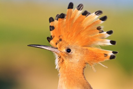 Hoopoe exotic bird with a crest on its head,wildlife, and unique birds