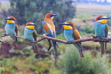 family of exotic birds european bee-eater, merops apiaster , wildlife and beautiful colors
