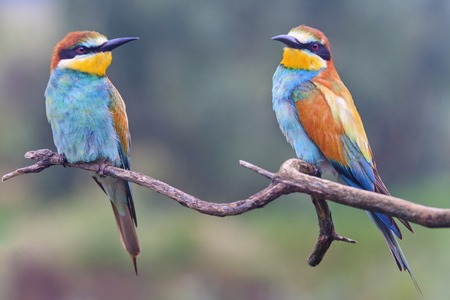 pair of European bee eaters , wildlife and beautiful colors Reklamní fotografie