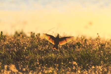 bird with open wings illuminated by the evening sun Stock Photo