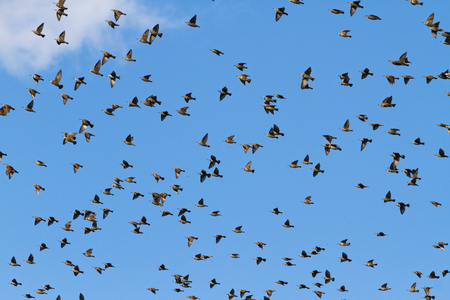birds fly through the blue sky , seasonal specifics Stock Photo