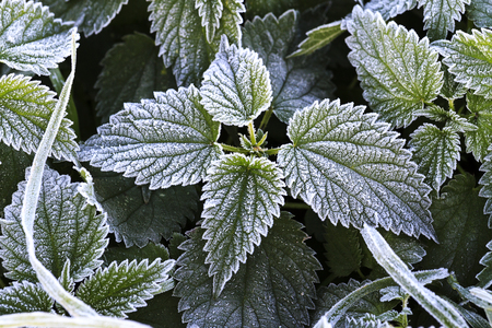prickly leaves of the nettle are covered with frost