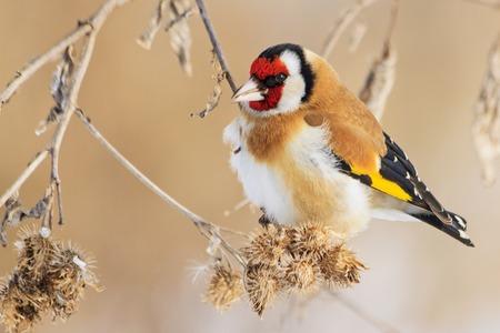 beautiful winter bird sitting on thistles Фото со стока - 113496031