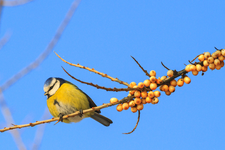 blue tit Sitting on a branch with berries of sea buckthorn Stock Photo