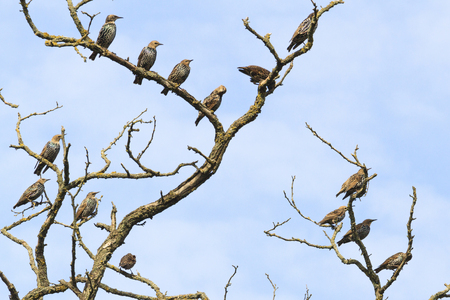 flock of starlings sit on the dry branch