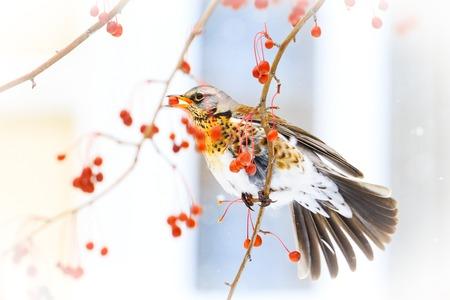 oiseau après que votre fenêtre mange des baies rouges, période hivernale