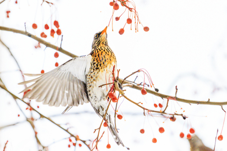 bird in flight breaks red berries, winter period Stock Photo