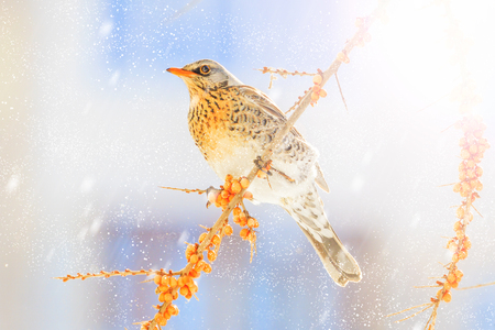 thrush on a winter snowy morning sits on yellow berries, winter period