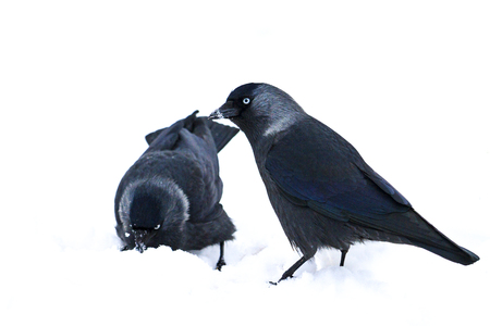 two black birds are looking for food in white snow