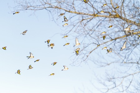 goldfinchs fly in the morning sky, wildlife, first spring days